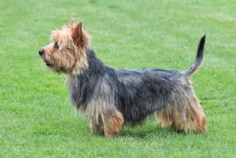 Typical Australian Terrier in the garden