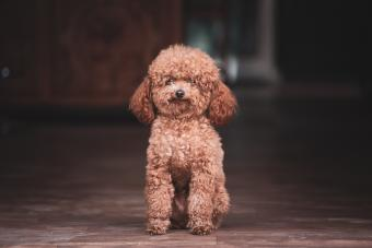 The Miniature Poodle: Guide to a Clever, Graceful Breed