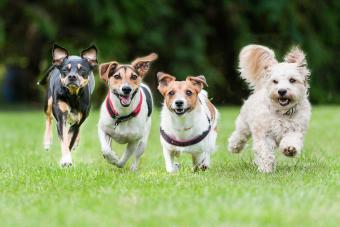 Small dogs running