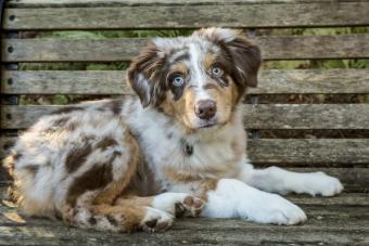 Red Merle Australian Shepherd puppy lying on bench