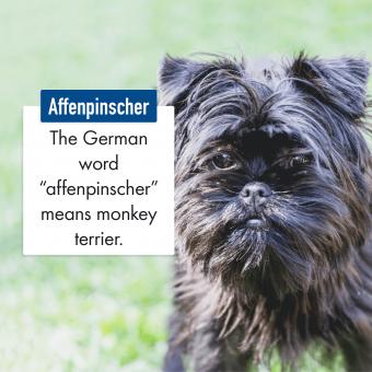 Affenpinscher Dog Breed
