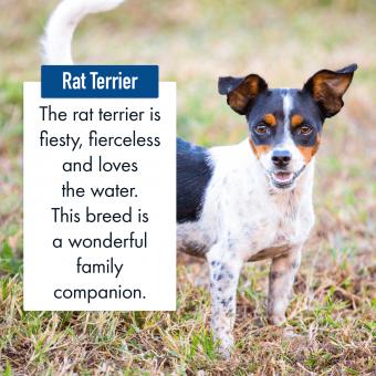 Rat Terrier Dog