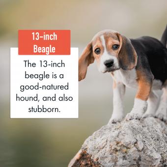 13-inch Beagle Dog