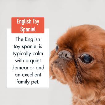 English Toy Spaniel Dog