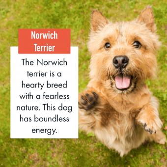 Norwich Terrier Dog