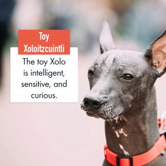 Toy Xoloitzcuintli Dog