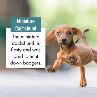 Miniature Dachshund Dog