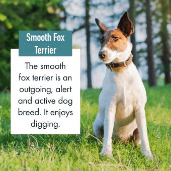 Smooth Fox Terrier Dog