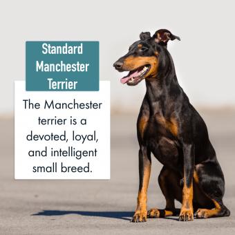 Standard Manchester Terrier Dog