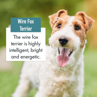Wire Fox Terrier Dog