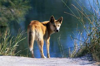 Dingo by water