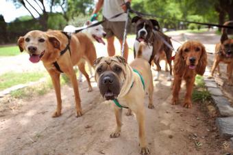 Dog walker in the park