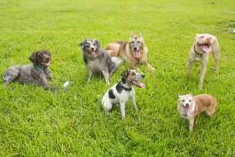 Six dogs in a dog park