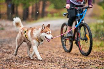 Bikejoring dog mushing race