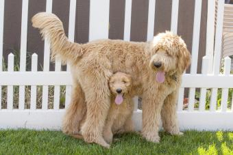 Goldendoodles in a backyard