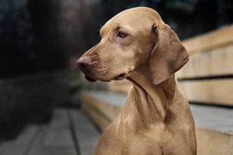 Vizsla dog looking away
