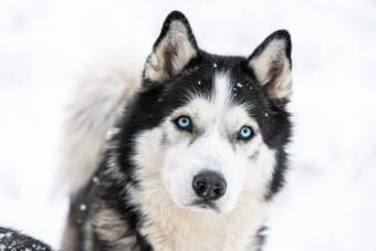 Blue Eyed Siberian Husky