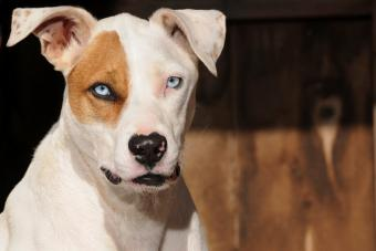 Blue Eyes Pit Bull Terrier Mix Dog