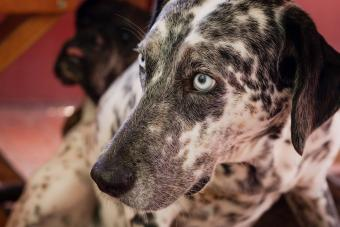 Black and white dalmatian with blue eyes