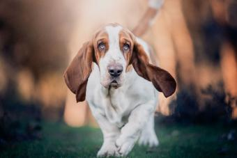 15 Adorable Dog Breeds With Long Ears