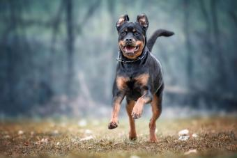 9 Large & Small Aggressive Dog Breeds