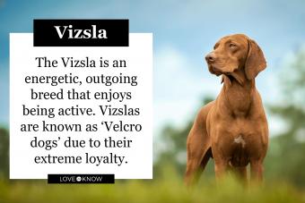Vizsla standing in grass