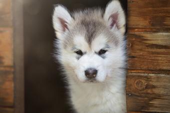 Puppy Alaskan malamute