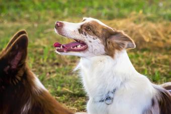 List of 30 Herding Dog Breeds (With Key Characteristics)