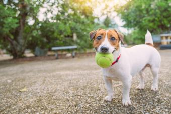 Jack Russell Terrier playing with ball on the backyard in the light of a morning sunrise