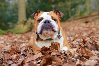 110 Memorable English Bulldog Names