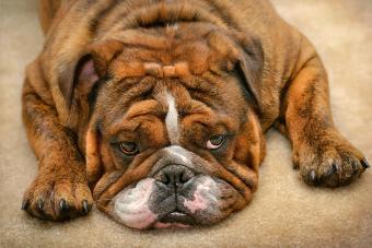 English bulldog with brindle fur laying on the carpet