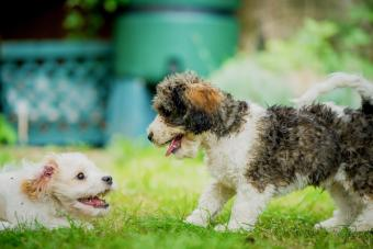 Two Cavachon puppies playing