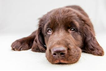 Brown flat coated retriever puppy