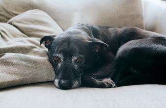 Sweet, old, black dog, lying on a sofa