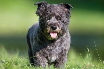 Steps for Grooming and Stripping a Cairn Terrier