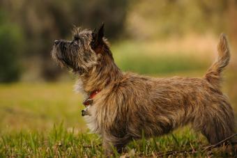 Cairn Terrier On Field