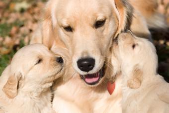 Symptoms Throughout Dog Pregnancy