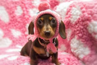 smooth haired miniature Dachshund Puppy wearing a bobble hat