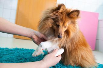Human bandage a shetland sheepdog