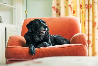 Senior black labrador relaxing on armchair