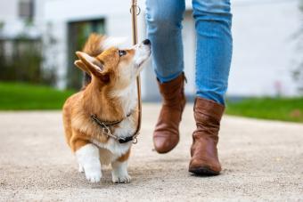 dog training: corgi puppy