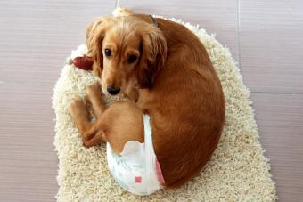 Dog in house wearing a diaper