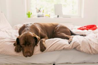 Pet dog asleep on bed