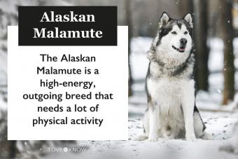 Alaskan Malamute breed infographic