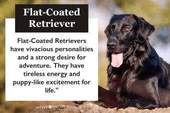 Flat coated retriever infographic
