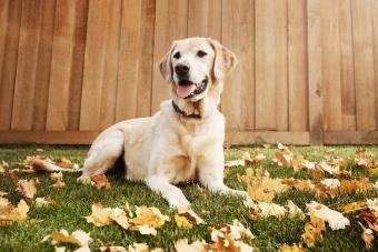 Labrador sitting grass