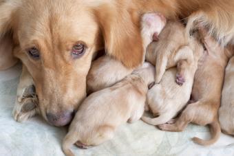 Dog Mating Concerns + Proper Procedures to Follow