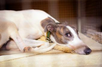 Greyhound resting in crate