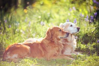 Two Golden Retrievers