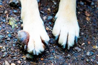 Tumor on front dog's leg